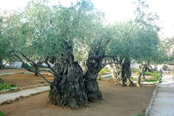 oljčni vrt Getsemani, Jeruzalem