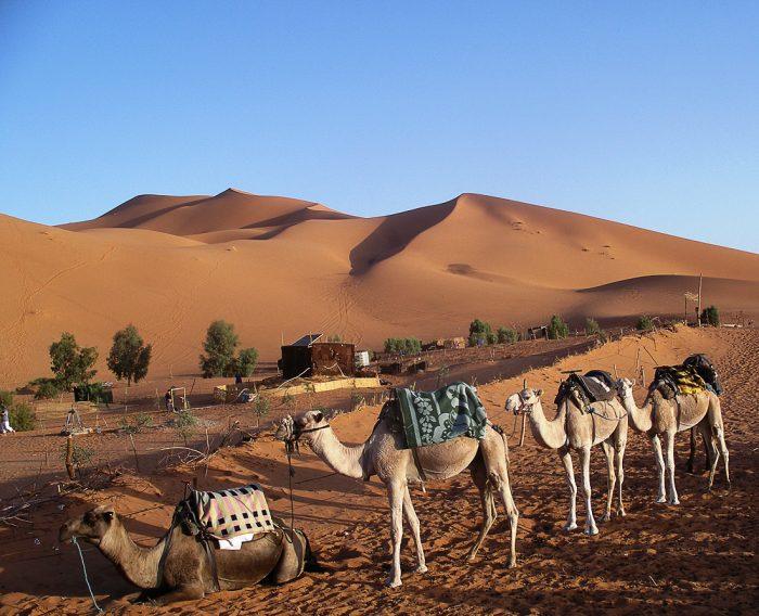 kamele v sahari