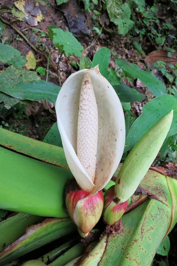 tropska rastlina v gozdu Mindo