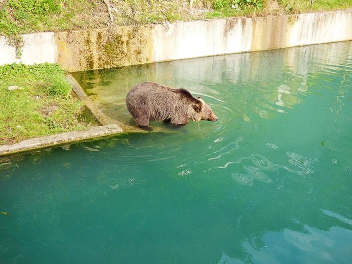 medved leze v zeleno reko Aare v Bernu