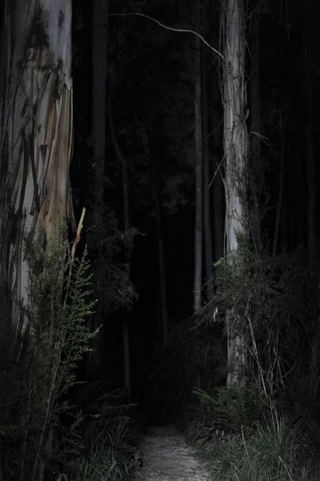 evkaliptusov gozd ponoči