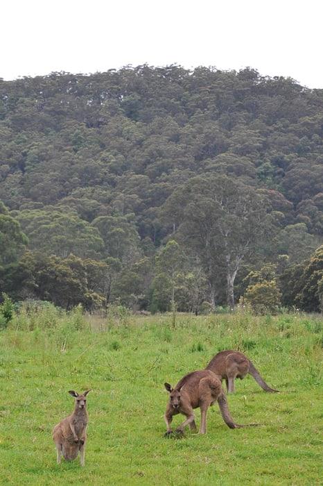 kenguru, Avstralija