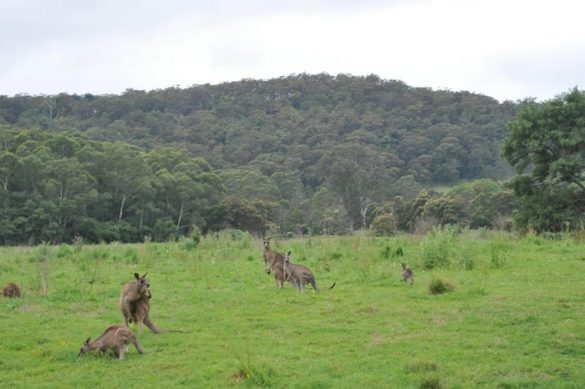 kenguruji v Kangaroo Valley