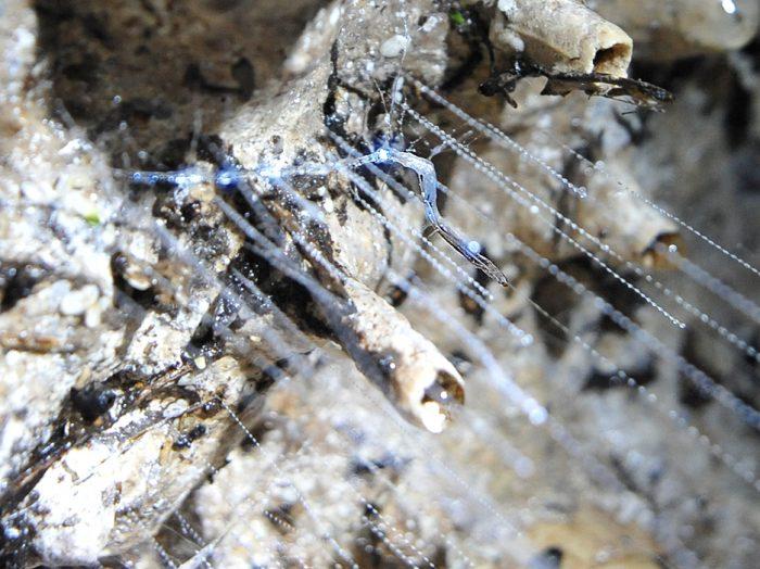 glowworm svetleči črvi v jami Waipu