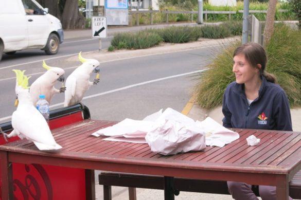 ženska in kakaduji, Avstralija