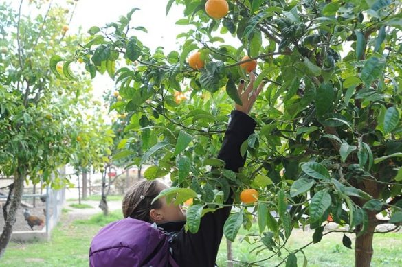 ženska se steguje po pomaranče na drevesu