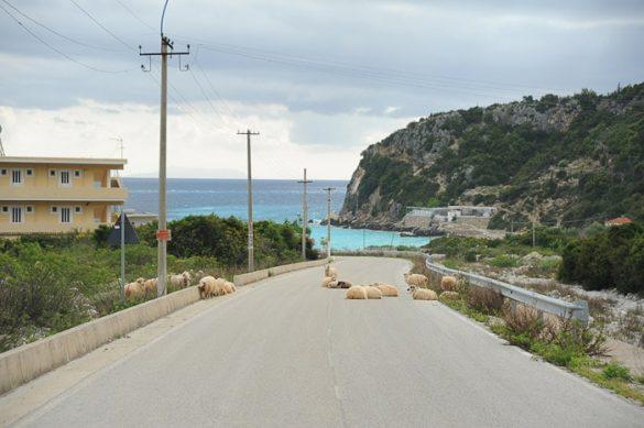 ovce na cesti, v ozadju turkizno morje