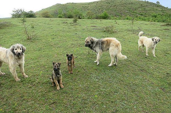 skupina belih, kosmatih psov, šar planinci, na zelenem travniku