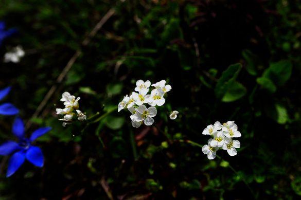 bele rožice na veliki planini