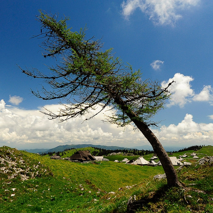 masecen, poševno drevo nad veliko planino