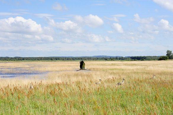 štorklja leti nad žitnim poljem