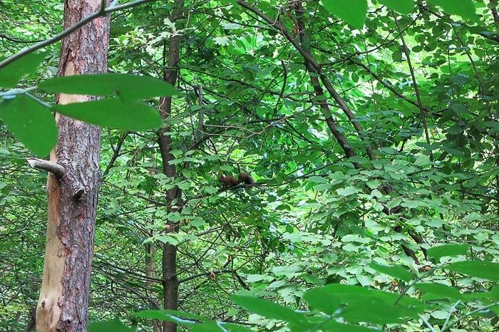 veverica na veji v drevesu med zelenimi listi