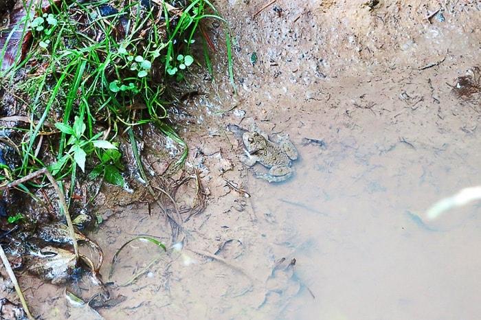 žaba v blatni luži