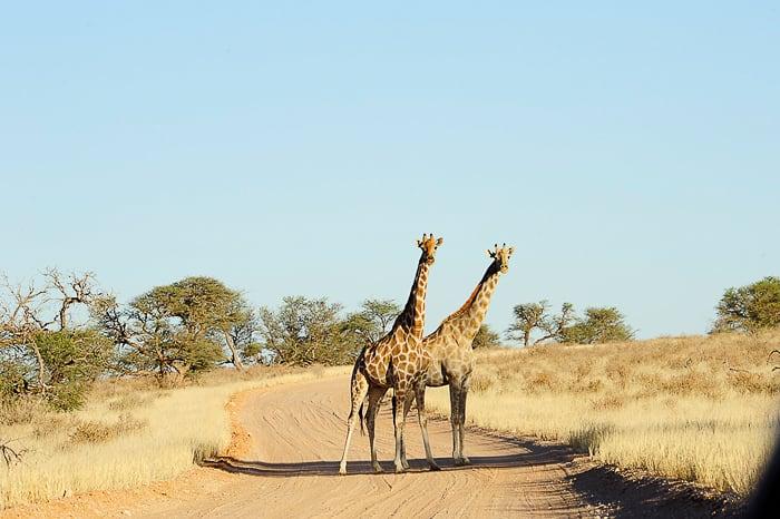 žirafa v Afriki, park Kgalagadi, JAR