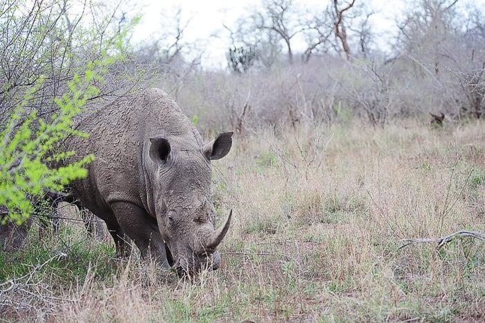 nosorog, park Hlane, Svazi