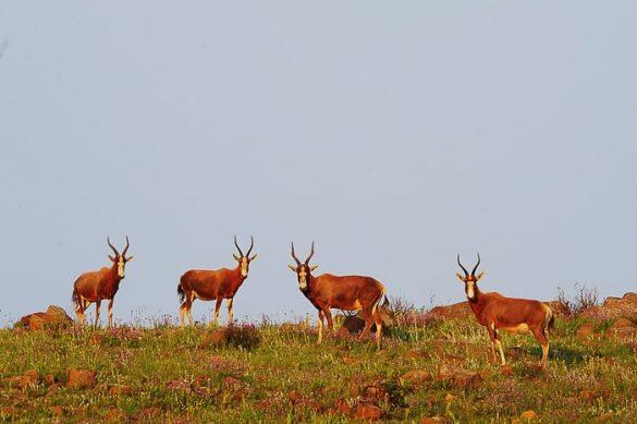 Blesbok antilope