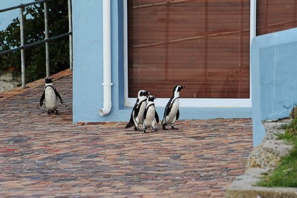pingvini Boulders Beach