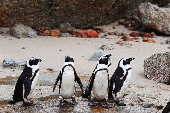 afriški pingivini