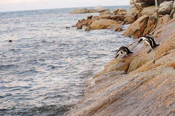 pingvin se pripravlja na skok v vodo. Boulders Beach