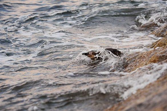 pingvin v vodi