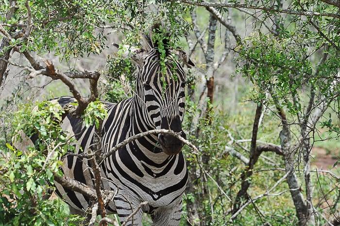 zebra med zelenjem