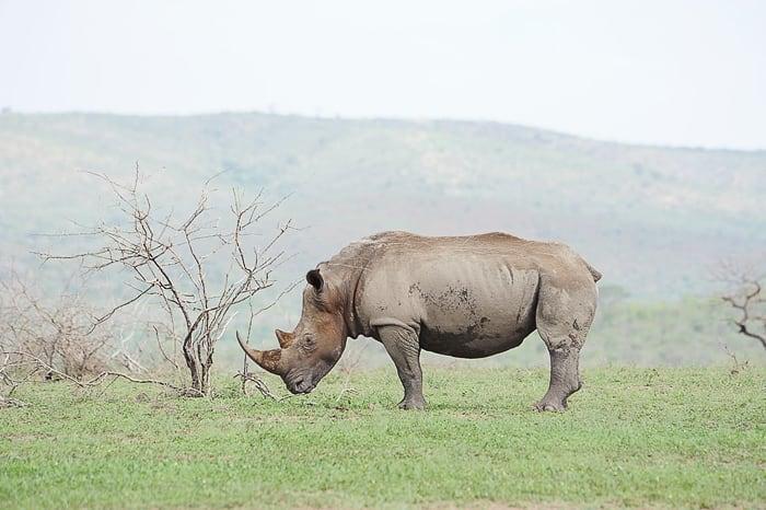 beli nosorog, Južna Afrika