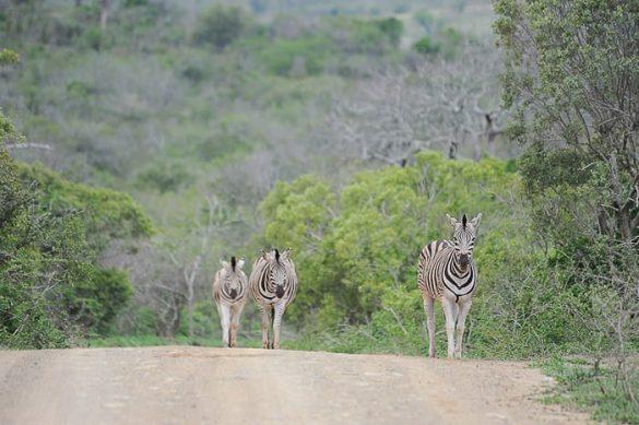 zebre na cesti