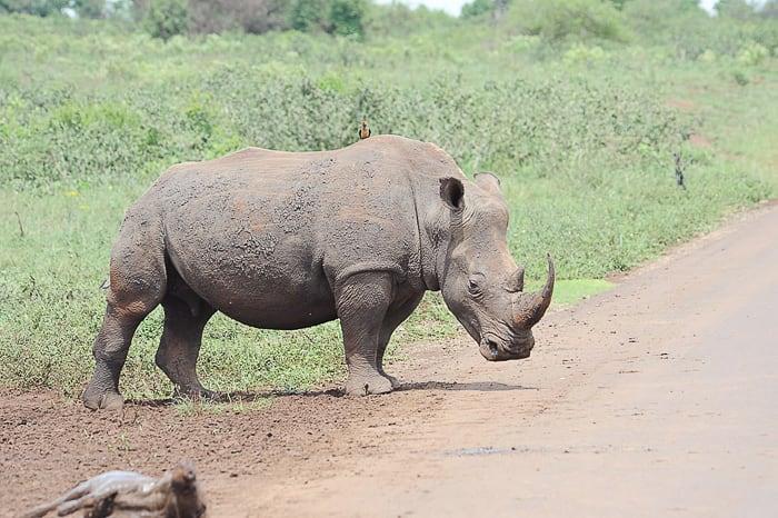 nosorog ob cesti