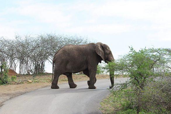 afriški slon na prečka cesto. Park hluhluwe imfolozi