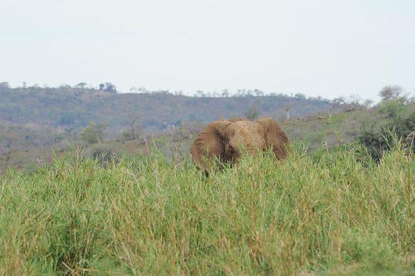 afriški slon v visoki travi