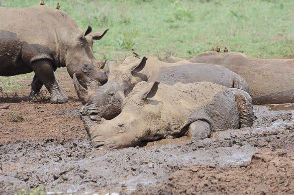 nosorogi v blatni kopeli