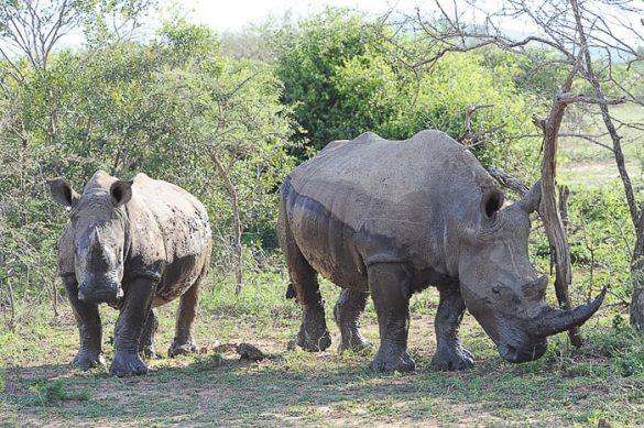 mama in mladič nosorog