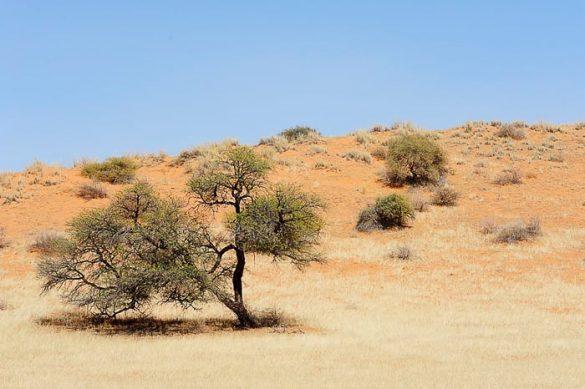 suho drevo v puščavi Kalahari