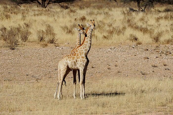 dve žirafi