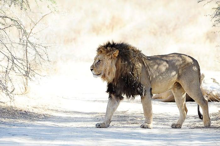 lev, kralj živali v parku kgalagadi