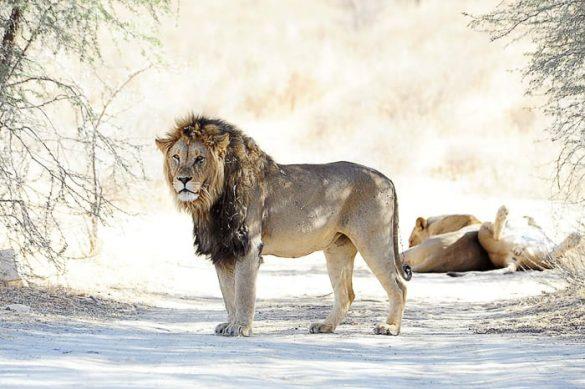 lev, safari park Kgalagadi