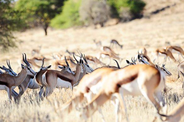 čreda gazel springbok