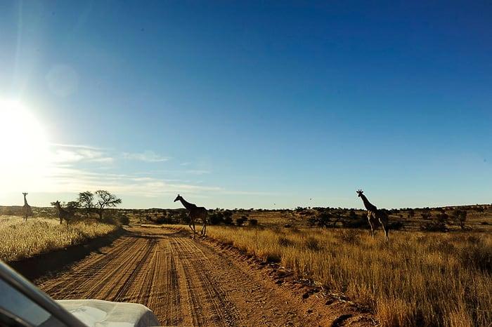 žirafa na cesti. Safari park Kgalagadi