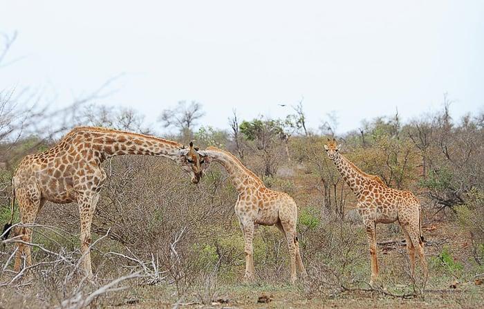 skupina žirag, park Kruger
