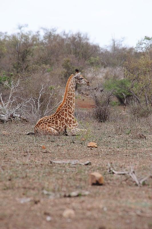 žirafa, oark Kruger