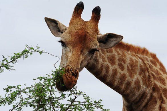 žirafa obira listje drevesa