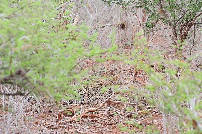 leopard v grmovju, park kruger