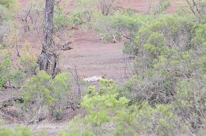 gepard, park Kruger