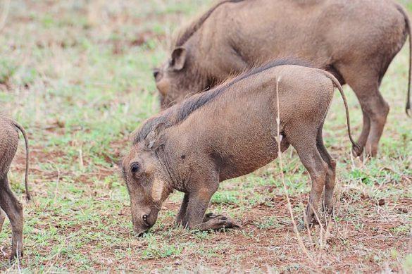 svinja bradavičarka