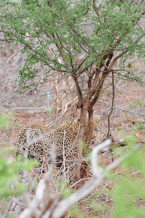 leopard v grmovju