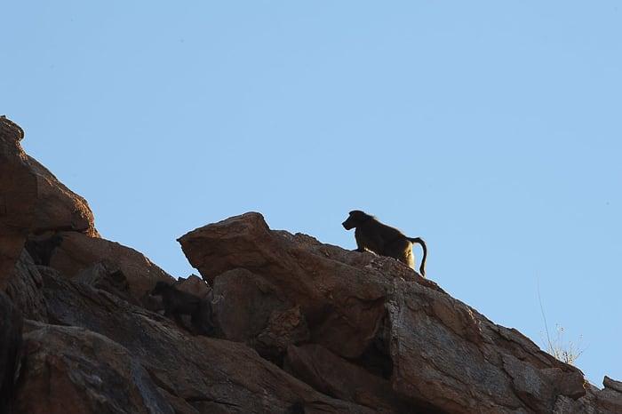 črni pavijan na skali v kanjonu Riemvasmaak
