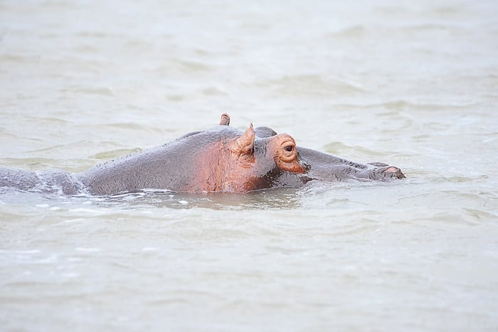 nilski konj