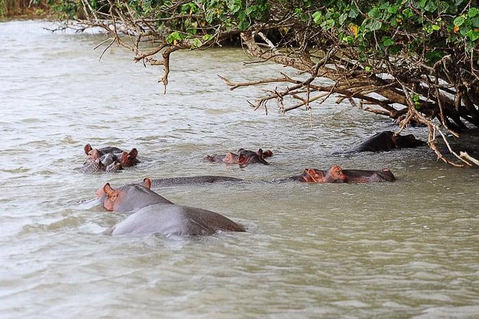skupina nilskih konjev v reki, rečni safari v St. Lucia