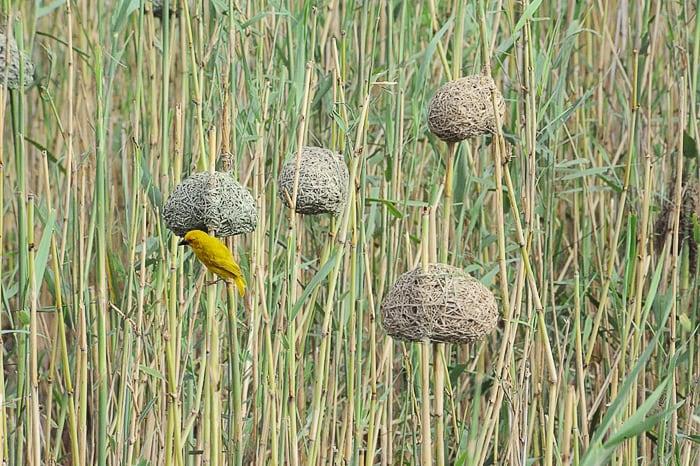 yellow weaver, Južna Afrika