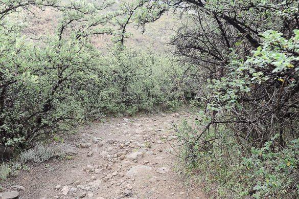 akacije, Lesoto Tsehlanyane